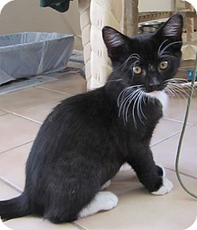 Domestic Shorthair Kitten for adoption in San Diego, California - Meeko