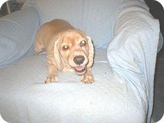 Cocker Spaniel Dog for adoption in Kannapolis, North Carolina - Little Man/Beni  -Adopted!