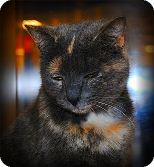 Domestic Shorthair Cat for adoption in Yuba City, California - Cooleigh