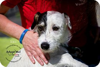 Jack Russell Terrier Mix Dog for adoption in Burbank, California - Mac