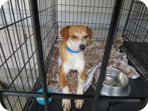 Terrier (Unknown Type, Small) Mix Puppy for adoption in Las Vegas, Nevada - Hendrix