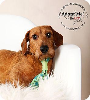 Dachshund Dog for adoption in Omaha, Nebraska - Bobby