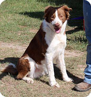Border Collie Mix Dog for adoption in Catonsville, Maryland - Jasper