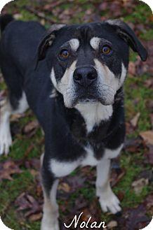 Husky/Shar Pei Mix Dog for adoption in Poland, Ohio - NOLAN // 4 (ADOPTED)
