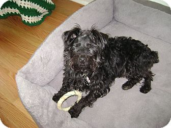 Poodle (Toy or Tea Cup)/Terrier (Unknown Type, Small) Mix Dog for adoption in Griffith, Indiana - MURPHY ADOPTED 14-425