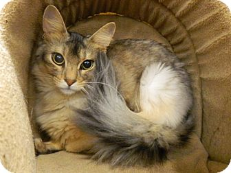 Somali Cat for adoption in The Colony, Texas - Kerfuffle