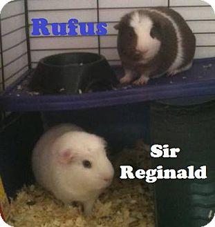 Guinea Pig for adoption in Saint Clair Shores, Michigan - Rufus & Sir Reginald
