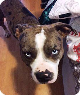 Pit Bull Terrier/Catahoula Leopard Dog Mix Dog for adoption in Berkeley, California - Lula Mae