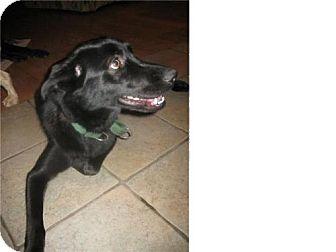 Labrador Retriever Dog for adoption in Kirkland, Quebec - Marge