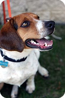 Beagle Mix Dog for adoption in Richmond, Virginia - Harry