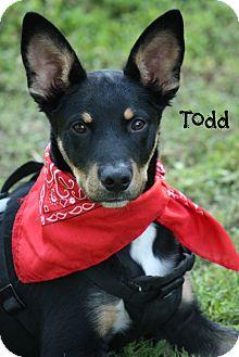 Miniature Pinscher/German Shepherd Dog Mix Dog for adoption in Cranford, New Jersey - Todd