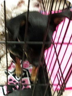 Chihuahua/Pug Mix Dog for adoption in Mesa, Arizona - Max