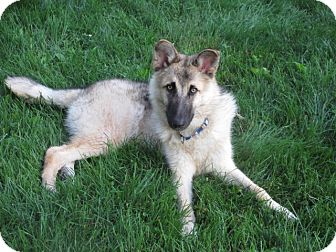 German Shepherd Dog Mix Dog for adoption in West Milford, New Jersey - KODA-pending