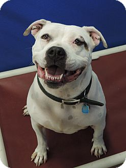 American Pit Bull Terrier Mix Dog for adoption in Brookings, South Dakota - Macy