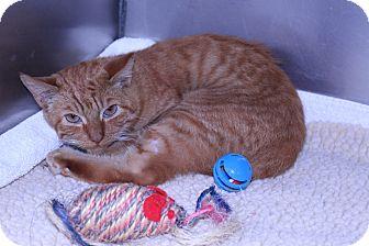 Domestic Mediumhair Kitten for adoption in Lumberton, North Carolina - Lucky