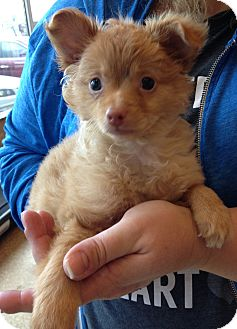 Pomeranian/Chihuahua Mix Puppy for adoption in Fairview Heights, Illinois - Rascal