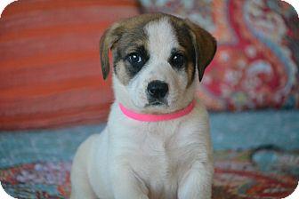 Australian Shepherd/Boxer Mix Puppy for adoption in Southington, Connecticut - Hadlee