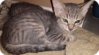 Domestic Shorthair Kitten for adoption in New Milford, Connecticut - Washington