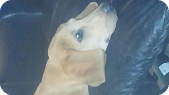 Labrador Retriever/Redbone Coonhound Mix Puppy for adoption in Waterbury, Connecticut - Copper