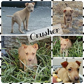 Shepherd (Unknown Type) Mix Puppy for adoption in Gainesville, Georgia - Crusher