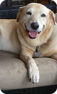 Labrador Retriever Mix Dog for adoption in Austin, Texas - Sammie (and Beamer)