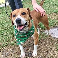 Adopt A Pet :: Gizmo - Boca Raton, FL