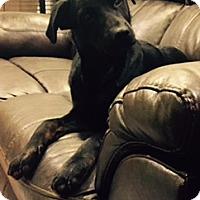 Labrador Retriever Mix Dog for adoption in Bedminster, New Jersey - Dodson