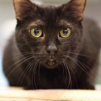 Domestic Shorthair Cat for adoption in Grayslake, Illinois - Rainbow