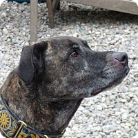 Cane Corso/Pit Bull Terrier Mix Dog for adoption in Perry, New York - Bela