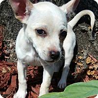 Adopt A Pet :: Bear - Bridgeton, MO