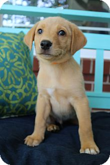 Labrador Retriever/Golden Retriever Mix Puppy for adoption in Hagerstown, Maryland - Jerry