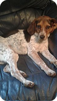 Beagle Mix Dog for adoption in Rockford, Illinois - Copper