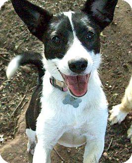 Basenji/Corgi Mix Dog for adoption in Guthrie, Oklahoma - Oreo