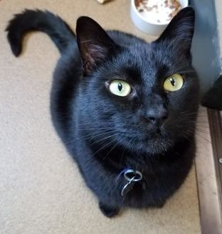 Domestic Shorthair/Domestic Shorthair Mix Cat for adoption in Corvallis, Oregon - Raven