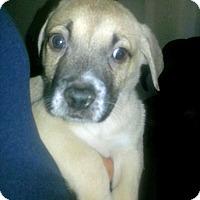 Adopt A Pet :: DEWEY - Albuquerque, NM