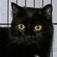 Domestic Shorthair/Domestic Shorthair Mix Cat for adoption in Tilton, Illinois - Louise