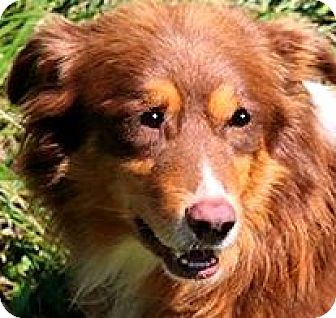 "Australian Shepherd Dog for adoption in Wakefield, Rhode Island - RANDY(GORGEOUS  ""AUSSIE"" SMART"