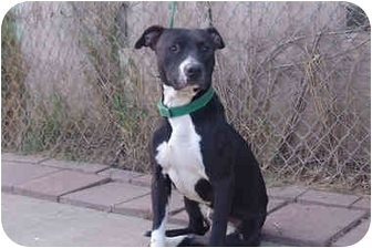 Labrador Retriever/American Pit Bull Terrier Mix Dog for adoption in West Los Angeles, California - Ralphie