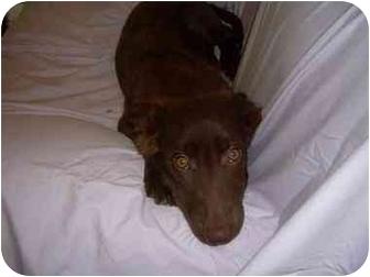 Labrador Retriever/Labrador Retriever Mix Puppy for adoption in Rochester, New Hampshire - Abby
