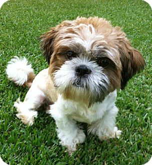 Shih Tzu Dog for adoption in El Segundo, California - Sammy