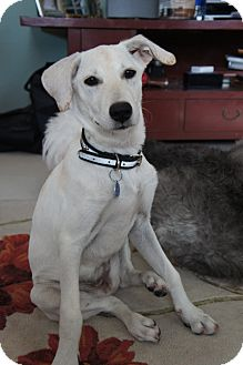Golden Retriever Mix Puppy for adoption in Temple City, California - Apple