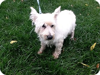 Westie, West Highland White Terrier Dog for adoption in Rochester, Michigan - Oscar