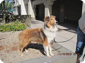 Sheltie, Shetland Sheepdog Puppy for adoption in apache junction, Arizona - Simba