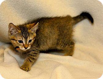 Domestic Shorthair Kitten for adoption in Bellingham, Washington - Snowflake