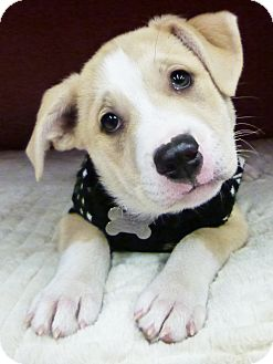 Shepherd (Unknown Type)/Husky Mix Puppy for adoption in Detroit, Michigan - Hunter-Adopted!