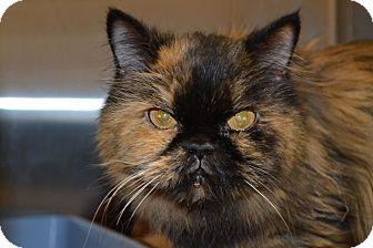 Persian Cat for adoption in Gilbert, Arizona - Budder