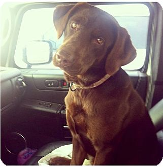 Labrador Retriever Dog for adoption in Somers, Connecticut - Ellie - DONE TAKING APPLICANTS