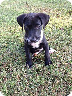 Labrador Retriever Mix Puppy for adoption in Hartsville, Tennessee - Emerson