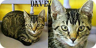 Domestic Shorthair Kitten for adoption in Mobile, Alabama - Davey