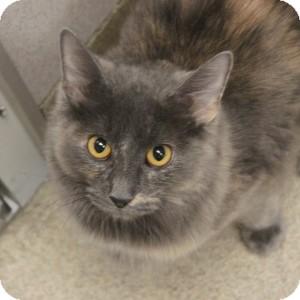 Domestic Mediumhair Kitten for adoption in Naperville, Illinois - Funny Face
